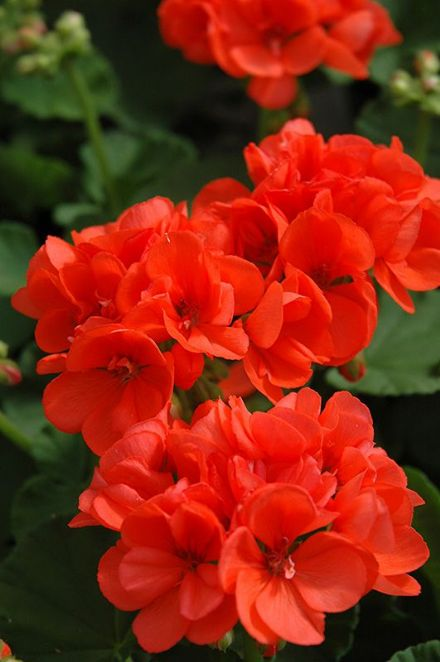 Geranium AURORA Orange